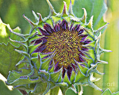 Photograph - Sunflower Bloom by Kathy M Krause