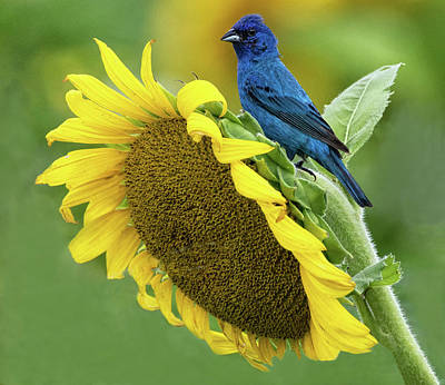 Photograph - Sunflower Blue by Art Cole