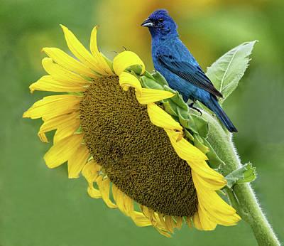 Photograph - Sunflower Blue by Art Cole