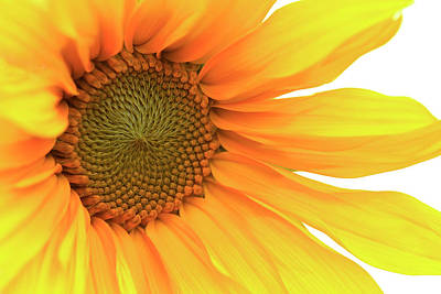 Photograph - Sunflower by Bob Cournoyer