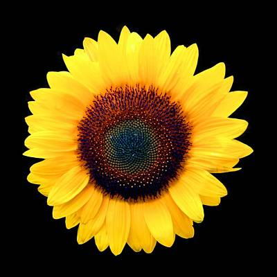 Photograph - Sunflower by Bob Slitzan