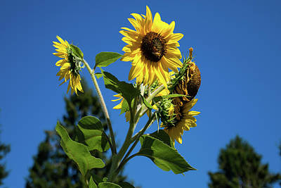 Photograph - Sunflower Boquet by Tom Cochran