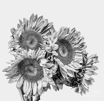 Photograph - Sunflower Bouquet Bw by Shirley Mangini