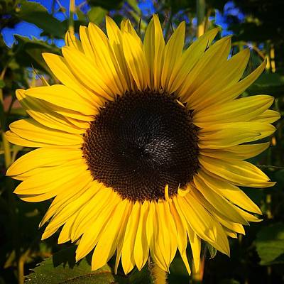 Photograph - Sunflower  by Brian Eberly