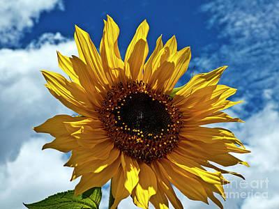 Photograph - Sunflower Brilliance by Al Bourassa