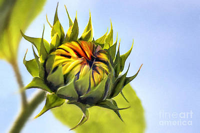 Sunflowers Digital Art - Sunflower Bud by John Edwards
