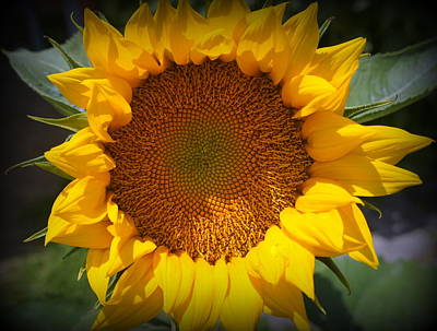 Photograph - Sunflower Burst by Laurie Perry