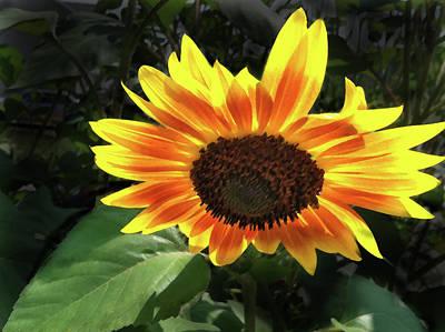 Old Masters Royalty Free Images - Sunflower Burst Royalty-Free Image by Steve Karol