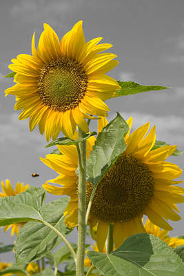 Photograph - Sunflower Buzz by Dylan Punke