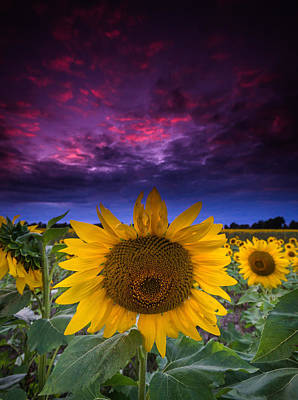 Sunflowers Royalty-Free and Rights-Managed Images - Sunflower by Cale Best