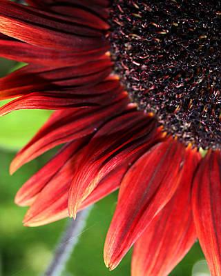 Sunflower Art Print by Carol Hicks
