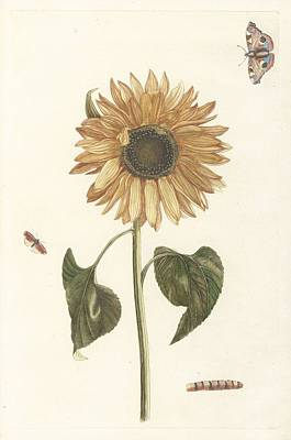 Rose Painting - Sunflower, Caterpillar And Two Butterflies, Anonymous, 1688 - 1698 by Artistic Panda