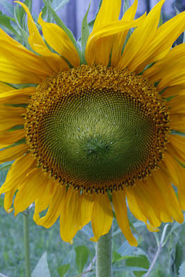 Photograph - Sunflower by Catherine Alfidi