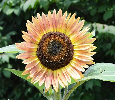 Photograph - Sunflower by Charles HALL