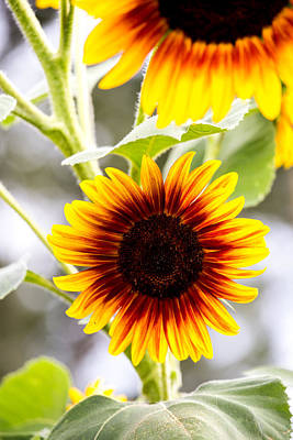 Photograph - Sunflower by Charles Hite