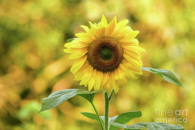 Photograph - Sunflower by Charles Owens