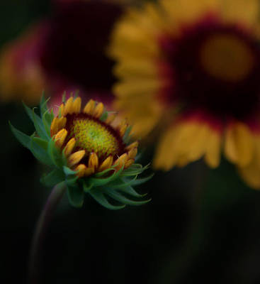Photograph - Sunflower by Cherie Duran