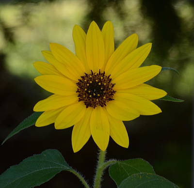 Photograph - Sunflower by Cheryl Charette