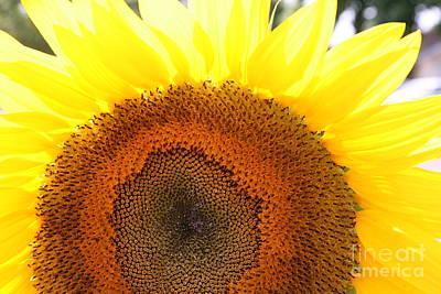 Sunflower Art Print by Chuck Kuhn