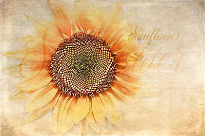 Sunflower Classification Art Print by Terry Davis