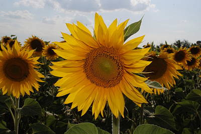 Photograph - Sunflower  by Cliff Norton