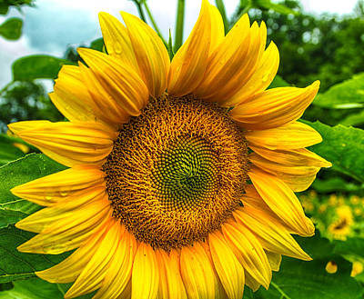Photograph - Sunflower Close Up 2 by Leah Palmer