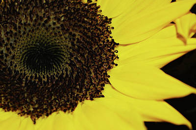 Photograph - Sunflower Close Up by Aimee L Maher Photography and Art Visit ALMGallerydotcom