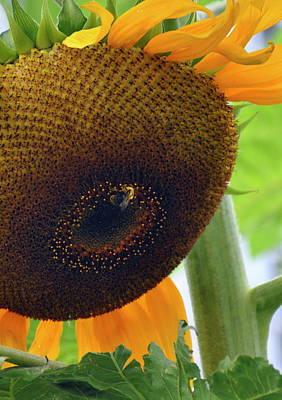 Photograph - Sunflower Close Up by Caroline Reyes-Loughrey