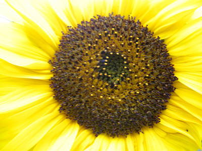 Sunflower Close Up Art Print by Sonya Chalmers