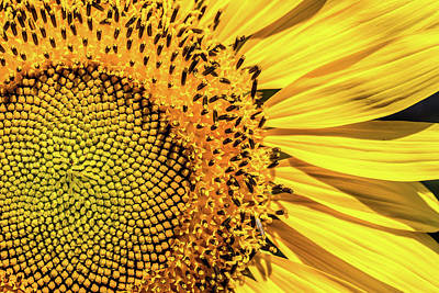 Photograph - Sunflower Closeup by SR Green