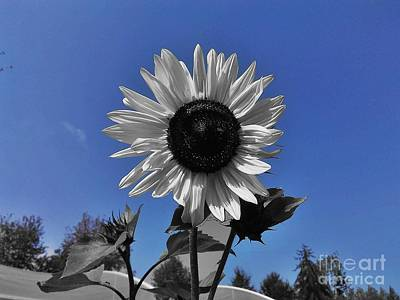Photograph - Sunflower Color Splash  by Erika H