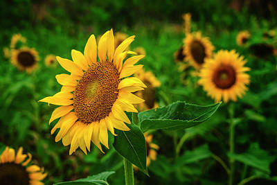 Photograph - Sunflower Columbia River Bottom Mo_dsc9924_16 by Greg Kluempers