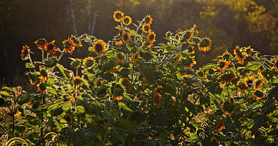 Photograph - Sunflower Conversation by John Meader