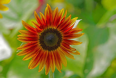Photograph - Sunflower by David Freuthal