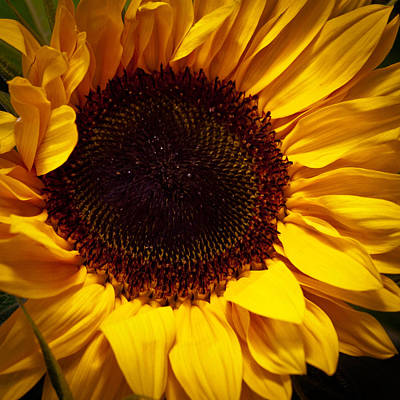 World Forgotten Rights Managed Images - Sunflower Royalty-Free Image by David Patterson