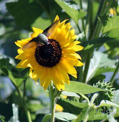 Photograph - Sunflower Delight by Cathy  Beharriell