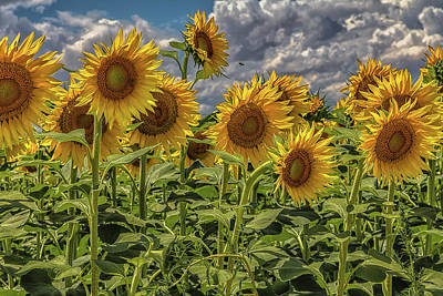 Photograph - Sunflower Delight by Jaquita Watters