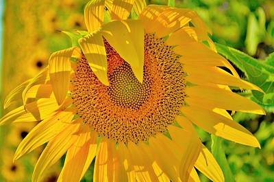 Sunflowers Photograph - Sunflower by Dennis Nelson