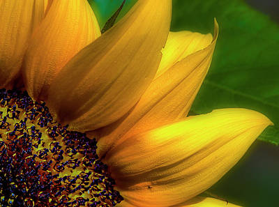 Photograph - Sunflower Detail by Gary Shepard