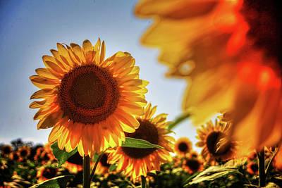 Photograph - Sunflower Detail No. 3 by Roger Passman