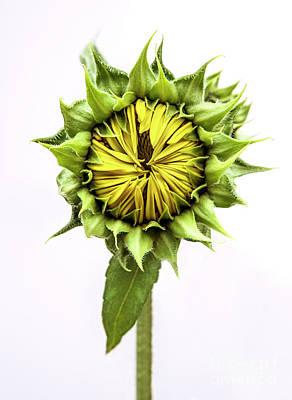 Photograph - Sunflower by Diane Diederich