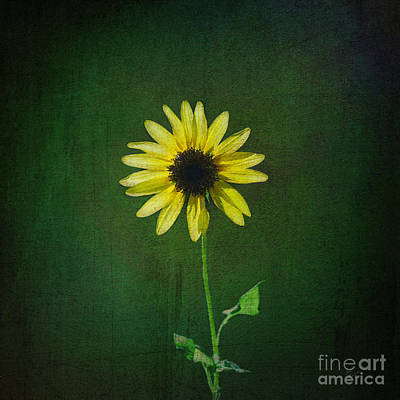 Photograph - Sunflower by Diane Macdonald
