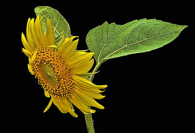 Photograph - Sunflower by Don Durfee