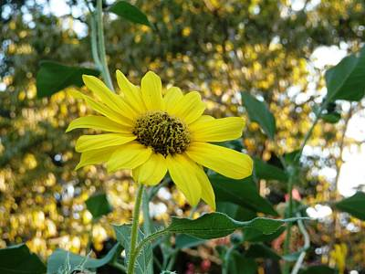 Photograph - Sunflower Enjoying Golden Eve by Belinda Lee