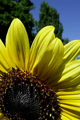 Photograph - Sunflower by Everett Bowers