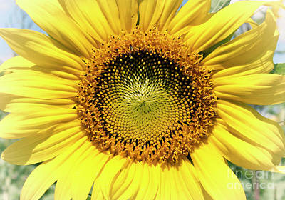 Photograph - Sunflower Face by Pam  Holdsworth