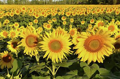 Photograph - Sunflower Faces by Ann Bridges