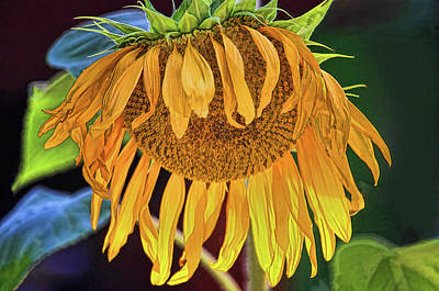 Photograph - Sunflower - Fading Glory by HH Photography of Florida