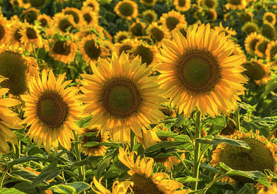 Photograph - Sunflower Family by Mark Kiver