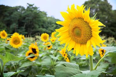 Photograph - Sunflower Farm by Fran Gallogly